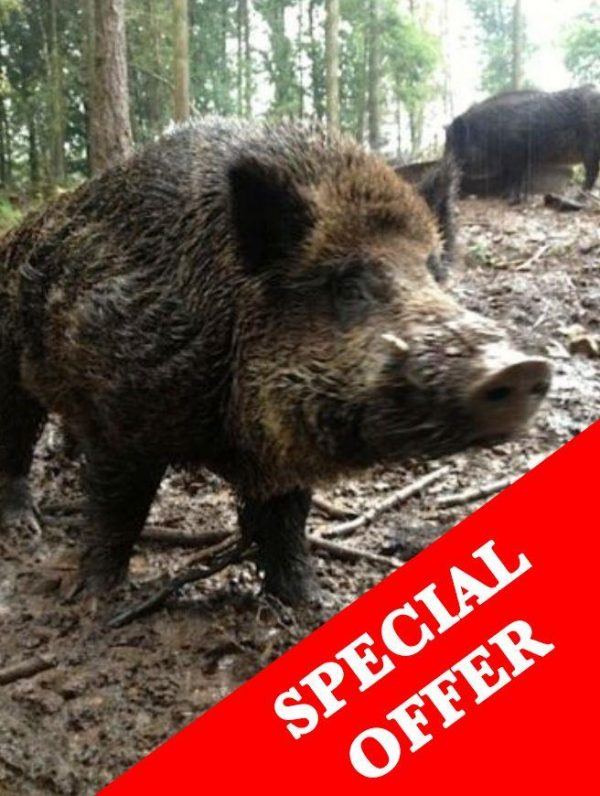 Receive a letter informing you of your purchase with details, a great present!Boar weights approx. 65kgs - 80kgs of those previously shot.You will then use the code on the letter code to book the days you choose!Did you hear about the released/escaped boar?Well, they keep coming back to see where they escaped from and trying to break into the pen where other boar are enclosed as quite a few of them are females. They can smell them from 40km away when they are in season.These evenings have very limited availability, your chances are high.An evenings high seat shooting on either of the below locationsForest of Dean?49.99 to bookPay ?150 to the keeper on the night ?1 a pound to keep any meat(no charges to shoot)This is truly Wild Boar shooting ,we have had people shoot 3 in one night .We feed very hard in this area to give you the best chance , and space out outing so it is not overshot. Again to give you the best chance of shooting a Wild Boar . ExmoorShoot for meat, 17 animals must be shot! - 12 left! You must take the meat ?34.99 to book?75 to the keeper on the night?2.75 a pound to keep the animal NEW - CHESHIRE SHOOT A WILD BOAR FOR MEAT13 BOAR MUST GO?49.99 to book?300 to shoot and keep boarUp to 160kg availablePlease email us the person who is attending the shoots name, address and contact number. Also say if you'd like the certificate and letter to go to their address or your address (if its a present) We do charge slightly extra for gift wrapping.